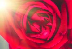Plan rapproché de rose de rouge, fond de fête Photo stock