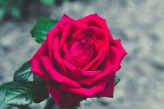 Plan rapproché de rose de rouge, fond de fête Photographie stock libre de droits