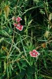 Plan rapproché de rose et fleurs rouges d'oeillet dans le jardin photo libre de droits