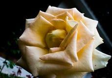 Plan rapproché de Rose jaune photo libre de droits