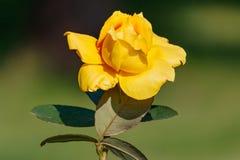 Plan rapproché de rose de jaune dans le jour d'été ensoleillé Image libre de droits