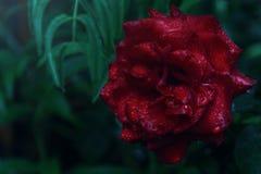 Plan rapproché de rose de rouge avec la rosée dans l'obscurité Image libre de droits