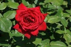 Plan rapproché de rose de rouge sur un fond des feuilles vertes Image libre de droits