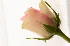 Plan rapproché de Rose sur le fond blanc Image libre de droits