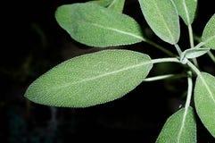 Plan rapproché de Salvia et x28 ; sauge, également appelée sauge de jardin, ou le sage& commun x29 ; Image stock