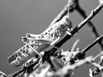 Plan rapproché de sauterelle de désert Image stock