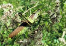 Plan rapproché de sauterelle verte Photographie stock