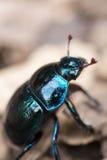 Plan rapproché de scarabée de Dung Photo libre de droits