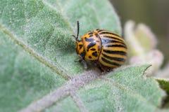 Plan rapproché de scarabée de pomme de terre du Colorado Photos libres de droits