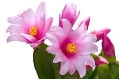 Plan rapproché de Schlumbergera de fleurs Photo stock