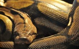 Plan rapproché de serpent Images stock
