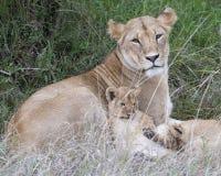 Plan rapproché de Sideview de lionne se situant dans l'herbe avec l'petit animal se reposant de son côté Photos stock