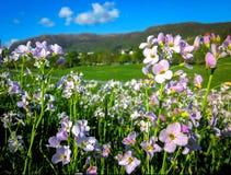 Plan rapproché de soleil rose de cardamines des prés au printemps photo libre de droits