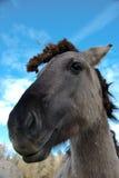 Plan rapproché de sourire de cheval de konik Image stock