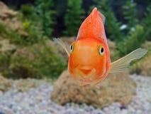 Plan rapproché de sourire de poissons d'or Image libre de droits