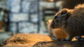 Plan rapproché de souris avec le fond brouillé photos stock