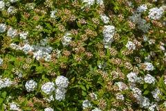Plan rapproché de spirea nuptiale de guirlande d'arbuste fleurissant, backgrou floral Photos libres de droits