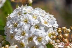 Plan rapproché de spirea nuptiale de guirlande d'arbuste fleurissant, backgrou floral Photo stock