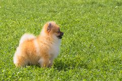 Plan rapproché de Spitz de chien Photographie stock