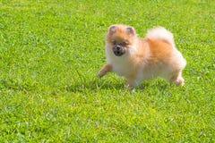 Plan rapproché de Spitz de chien Photos stock