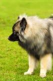 Plan rapproché de Spitz de chien Image stock