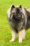 Plan rapproché de Spitz de chien Photographie stock libre de droits