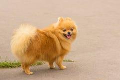 Plan rapproché de Spitz de chien Images stock