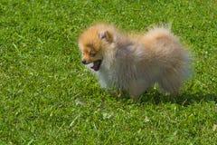 Plan rapproché de Spitz de chien Photo libre de droits