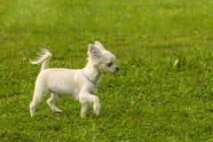 Plan rapproché de Spitz de chien Image libre de droits