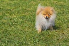 Plan rapproché de Spitz de chien Photos libres de droits
