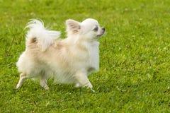 Plan rapproché de Spitz de chien Images libres de droits