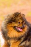 Plan rapproché de Spitz de Pomeranian Image stock