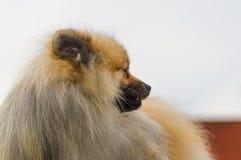 Plan rapproché de Spitz de Pomeranian Photo libre de droits