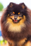 Plan rapproché de Spitz de Pomeranian Images stock