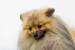 Plan rapproché de Spitz de Pomeranian Photo stock