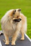 Plan rapproché de Spitz de Pomeranian Photos libres de droits