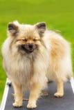 Plan rapproché de Spitz de Pomeranian Photographie stock libre de droits