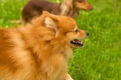 Plan rapproché de Spitz de Pomeranian Photos stock