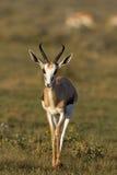Plan rapproché de springbok marchant dans la herbe-zone Photographie stock libre de droits