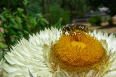 Plan rapproché de Straw Flower et d'abeille photos libres de droits