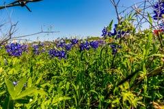 Plan rapproché de stupéfier Texas Bluebonnets images libres de droits