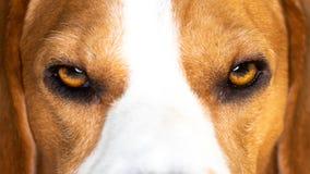 Plan rapproché de tête de chien de briquet sur des yeux photos stock
