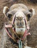 Plan rapproché de tête de chameaux Photographie stock libre de droits