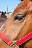 Plan rapproché de tête de cheval Image libre de droits