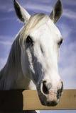 Plan rapproché de tête de cheval blanc Image libre de droits