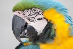 Plan rapproché de tête de perroquet d'ara Images stock