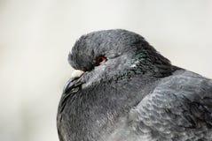 Plan rapproché de tête de pigeon Image libre de droits