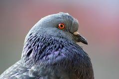 Plan rapproché de tête de pigeon Image stock