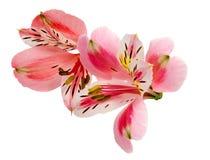 Plan rapproché de tête de fleur d'Alstroemeria d'isolement sur le fond blanc Image libre de droits