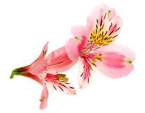 Plan rapproché de tête de fleur d'Alstroemeria d'isolement sur le fond blanc Photographie stock